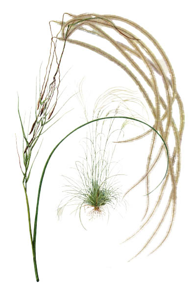 Stipa pennata / European feather grass, Orphan maidenhair / Ковыль перистый
