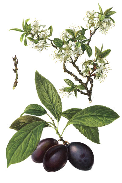 Prunus domestica / European plum / Слива домашняя