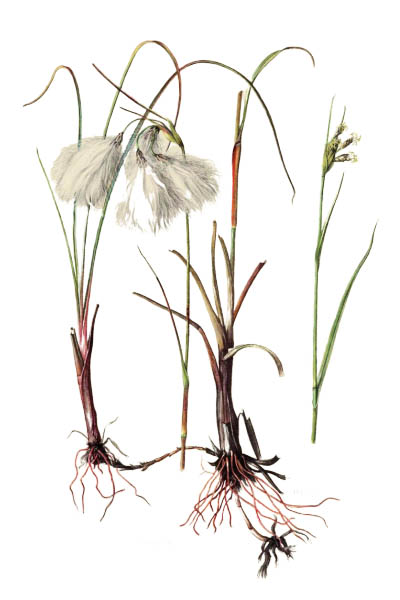 Eriophorum angustifolium / Common cottongrass, common cottonsedge / Пушица узколистная