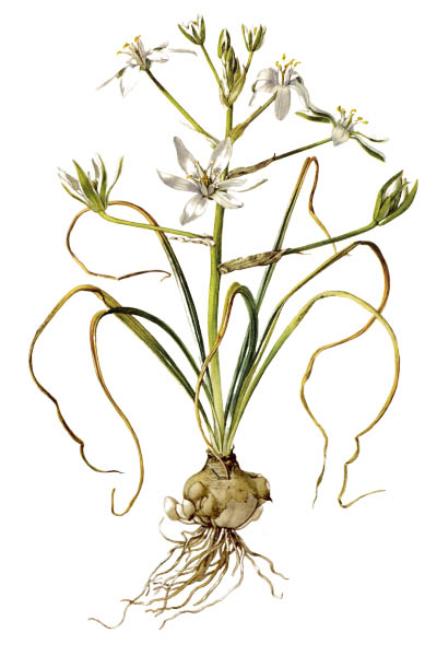 Ornithogalum umbellatum / Garden star-of-Bethlehem, grass lily, nap-at-noon, eleven-o'clock lady / Птицемлечник
