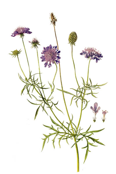 Скабиоза голубиная / Scabiosa columbaria / Pigeon scabious, pincushion flower