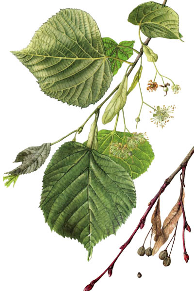 Tilia platyphyllos / Large-leaved lime, large-leaved linden / Липа крупнолистная