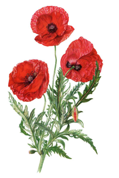 Papaver rhoeas / Common poppy, corn poppy, corn rose, field poppy, Flanders poppy, red poppy / Мак самосейка