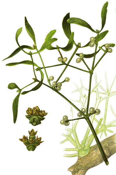 Viscum album / European mistletoe, common mistletoe / Омела белая