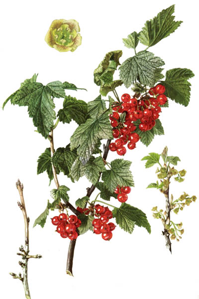 Ribes rubrum / Redcurrant,  red currant / Смородина красная