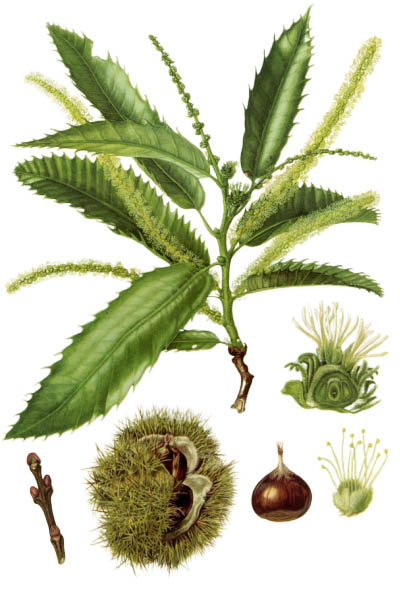 Castanea sativa / Sweet chestnut / Каштан посевной