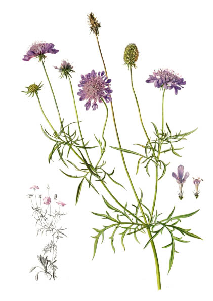 Scabiosa columbaria / Pigeon scabious, pincushion flower / Скабиоза голубиная