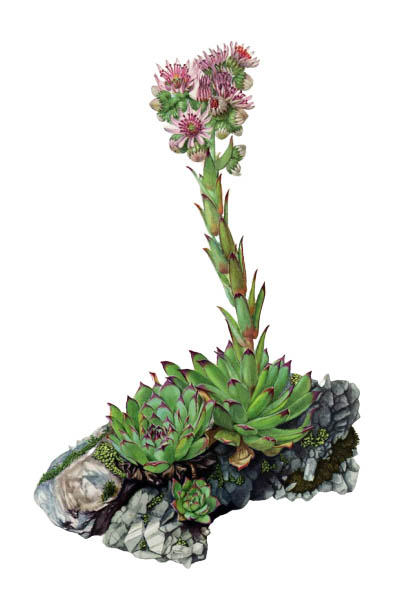 Sempervivum tectorum / Common houseleek / Молодило кровельное