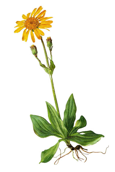 Arnica montana / Wolf's bane, leopard's bane, mountain tobacco, mountain arnica / Арника горная