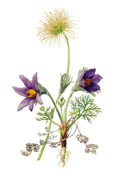 Pulsatilla vulgaris / Pasque flower, pasqueflower, common pasque flower, European pasqueflower / Прострел обыкновенный