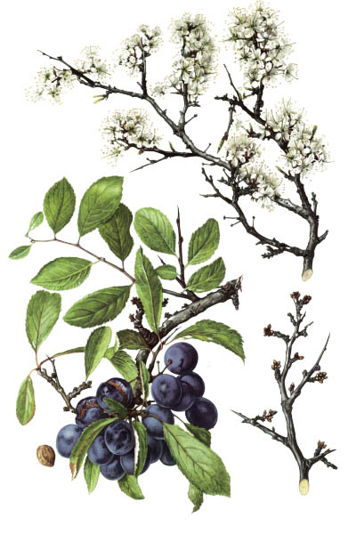 Prunus spinosa / Blackthorn, sloe / Тёрн