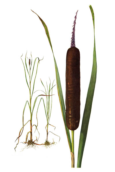Typha latifolia / Broadleaf cattail, bulrush, common bulrush, common cattail, great reedmace / Рогоз широколистный