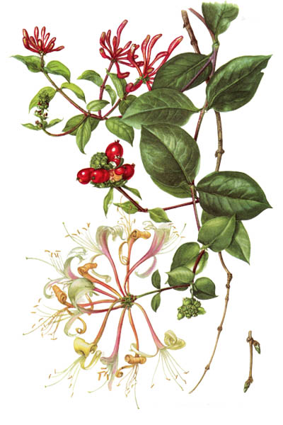 Lonicera periclymenum / Honeysuckle, common honeysuckle, European honeysuckle, woodbine / Жимолость вьющаяся