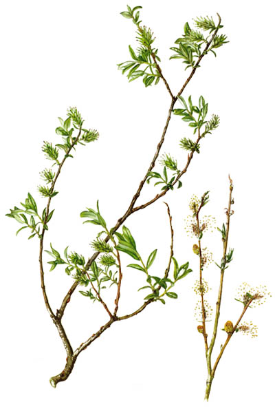 Salix repens / Creeping willow / Ива ползучая