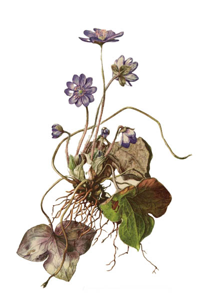Anemone hepatica / Common hepatica, liverwort, kidneywort, pennywort / Печёночница благородная