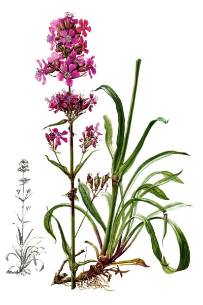 Silene viscaria / Sticky catchfly, clammy campion / Смолка клейкая
