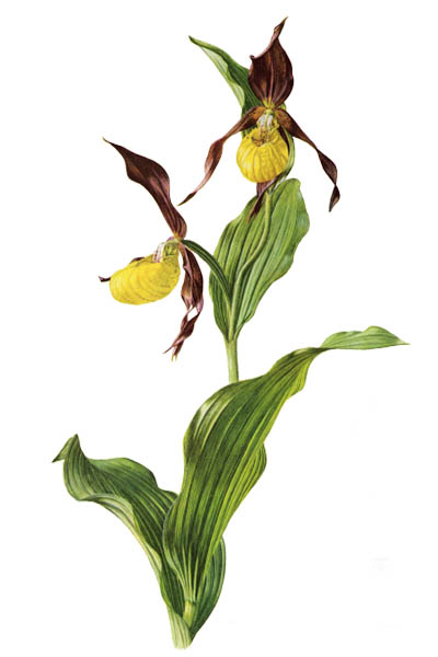 Cypripedium calceolus / Lady's-slipper orchid / Башмачок настоящий