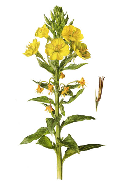 Oenothera biennis / Common evening-primrose, evening star, sundrop / Ослинник двулетний