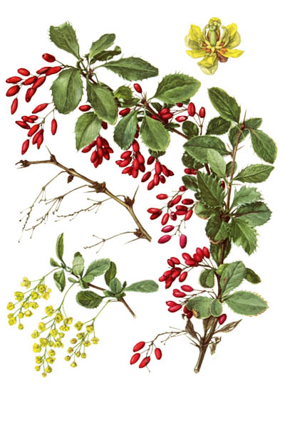 Berberis vulgaris / Common barberry, European barberry, simply barberry / Барбарис обыкновенный