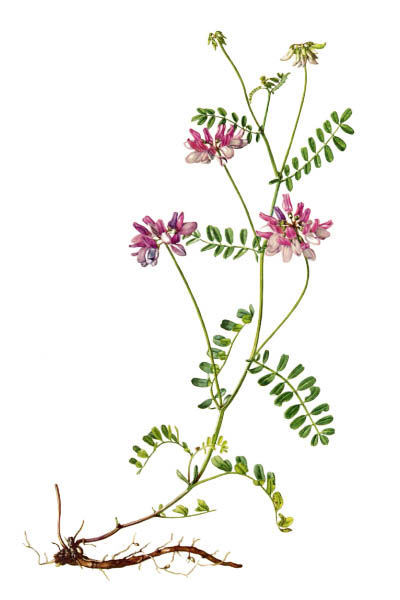Securigera varia / Crownvetch, purple crown vetch / Секироплодник пёстрый
