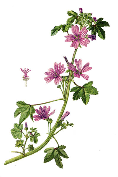 Malva sylvestris / Common mallow, cheeses, high mallow, tall mallow / Мальва лесная