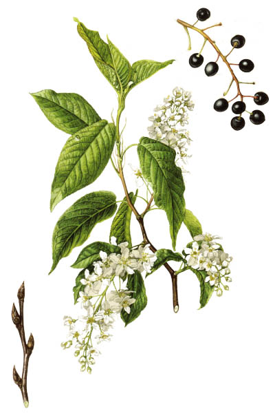 Prunus padus / Bird cherry, hackberry, hagberry, Mayday tree / Черёмуха обыкновенная