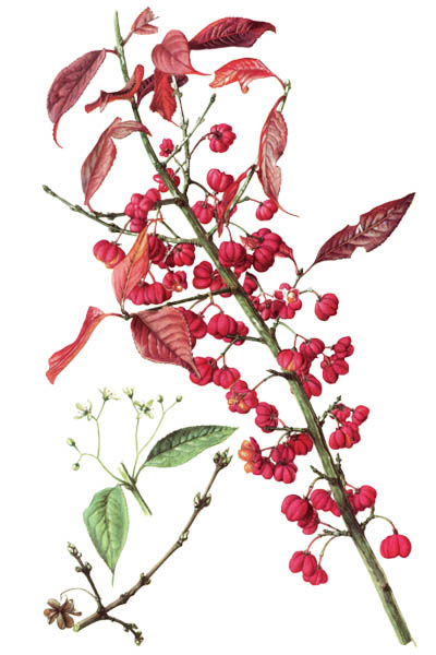 Euonymus europaeus / Spindle, European spindle, common spindle / Бересклет европейский