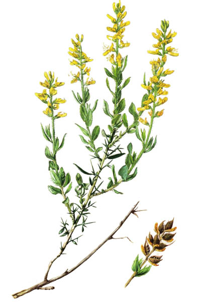 Genista germanica / German Greenweed / Дрок германский