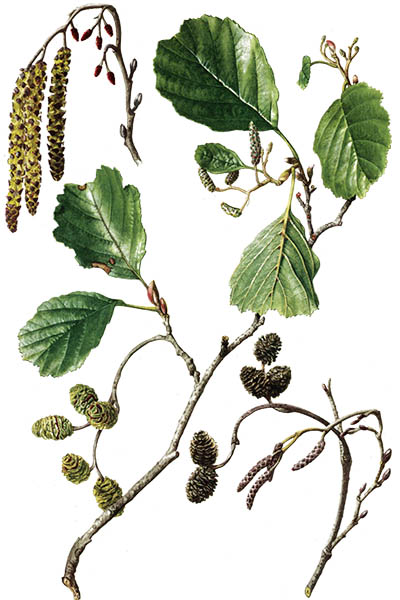 Alnus glutinosa / Common alder, black alder, European alder, just alder / Ольха чёрная