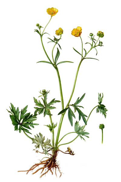 Лютик едкий / Ranunculus acris / Meadow buttercup, tall buttercup, common buttercup, giant buttercup