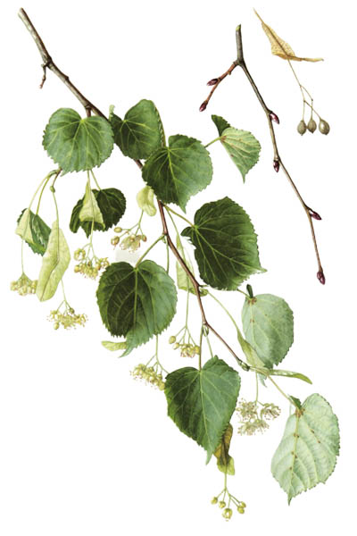 Tilia cordata / Small-leaved lime, occasionally littleleaf linden, small-leaved linden / Липа сердцевидная