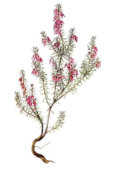 Erica carnea / Winter heath, winter-flowering heather, spring heath, alpine heath / Эрика травянистая