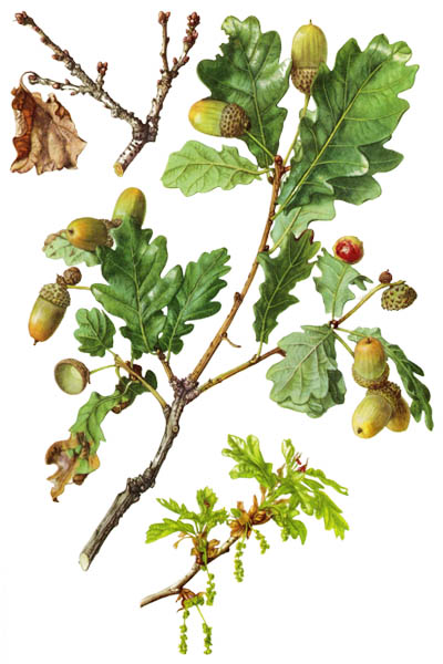 Quercus robur / Common oak, pedunculate oak, European oak, English oak / Дуб черешчатый