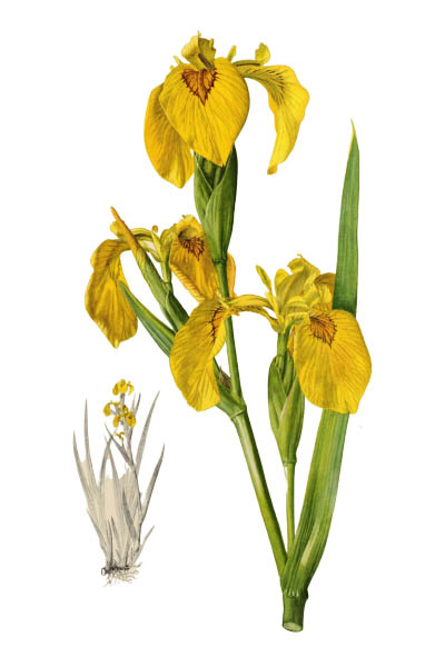 Iris pseudacorus / Yellow flag, yellow iris, water flag / Ирис ложноаировый