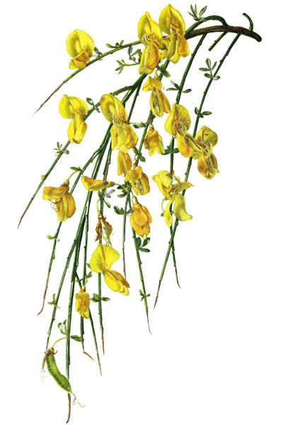 Cytisus scoparius / Common broom, Scotch broom / Ракитник венечный