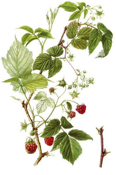 Rubus idaeus / Red raspberry, European raspberry / Малина обыкновенная