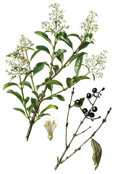 Ligustrum vulgare / Common privet, European prive / Бирючина обыкновенная