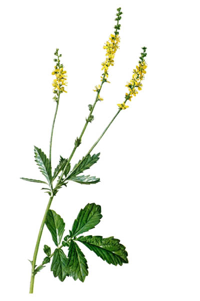 Agrimonia eupatoria / Common agrimony, church steeples, sticklewort / Репешок обыкновенный