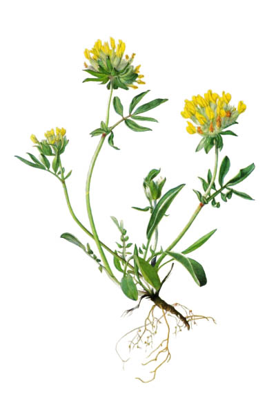 Anthyllis vulneraria / Common kidneyvetch, kidney vetch, woundwort / Язвенник ранозаживляющий