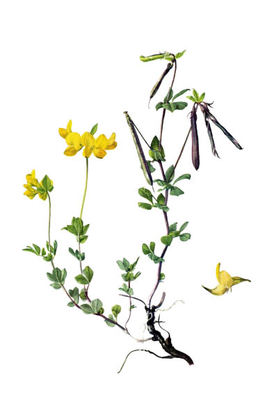Lotus corniculatus / Common bird's-foot trefoil, eggs and bacon, birdsfoot deervetch, bird's-foot trefoil / Лядвенец рогатый