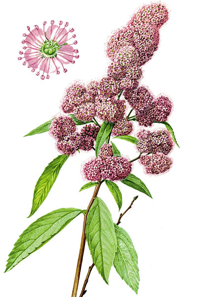 Spiraea salicifolia / Bridewort, willowleaf meadowsweet / Спирея иволистная