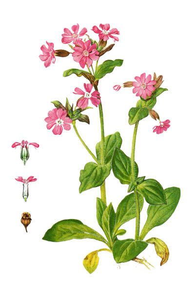 Silene dioica / Red campion, red catchfly / Дрёма двудомная