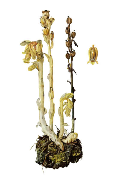 Monotropa hypopitys / Dutchman's pipe, false beech-drops, pinesap, yellow bird's-nest / Подъельник обыкновенный