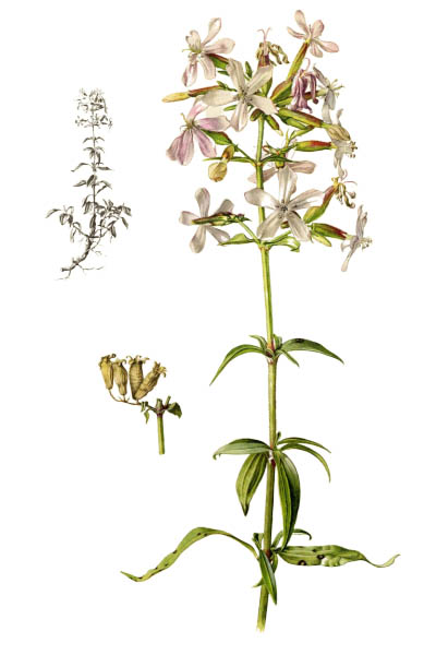 Saponaria officinalis / Common soapwort, bouncing-bet, crow soap, wild sweet William, soapweed / Мыльнянка лекарственная