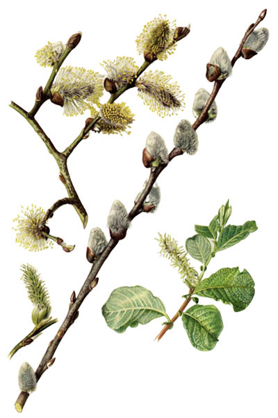 Salix caprea / Goat willow, pussy willow, great sallow / Ива козья