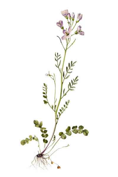 Cardamine pratensis / Cuckooflower, lady's smock, mayflower, milkmaids / Сердечник луговой