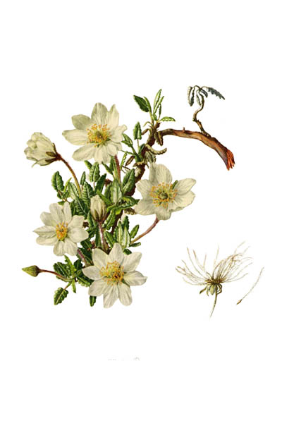 Dryas octopetala / Mountain avens, eightpetal mountain-avens, white dryas, white dryad / Дриада восьмилепестная