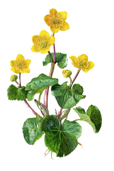 Caltha palustris / Marsh-marigold, kingcup / Калужница болотная
