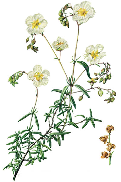 Helianthemum apenninum / White rock-rose / Гелиантемум
