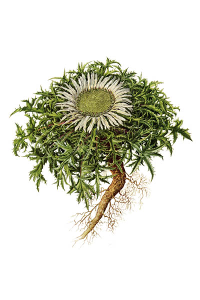 Carlina acaulis / Stemless carline thistle, dwarf carline thistle, silver thistle / Колючник бесстебельный